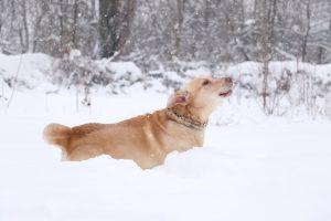 Viðkvæmar loppur hunda yfir veturinn
